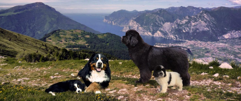 Montevento's Kennel - Bernese Mountain Dog & Newfoundland