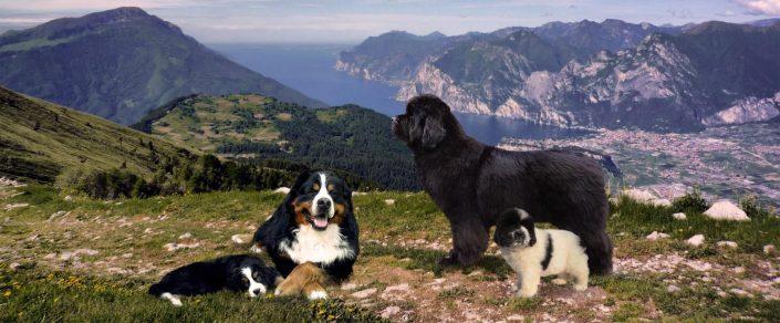 Allevamento Terranova e Bovaro del Bernese