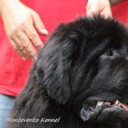 Il Terranova: non solo un cane da lavoro