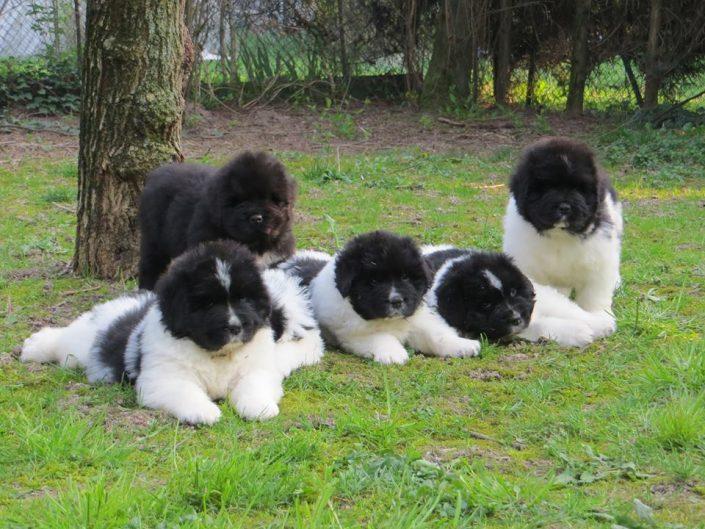 Cuccioli Terranova Montevento Kennel