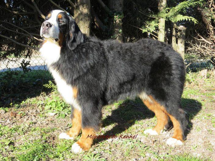 Bovaro del bernese - Allevamento Montevento