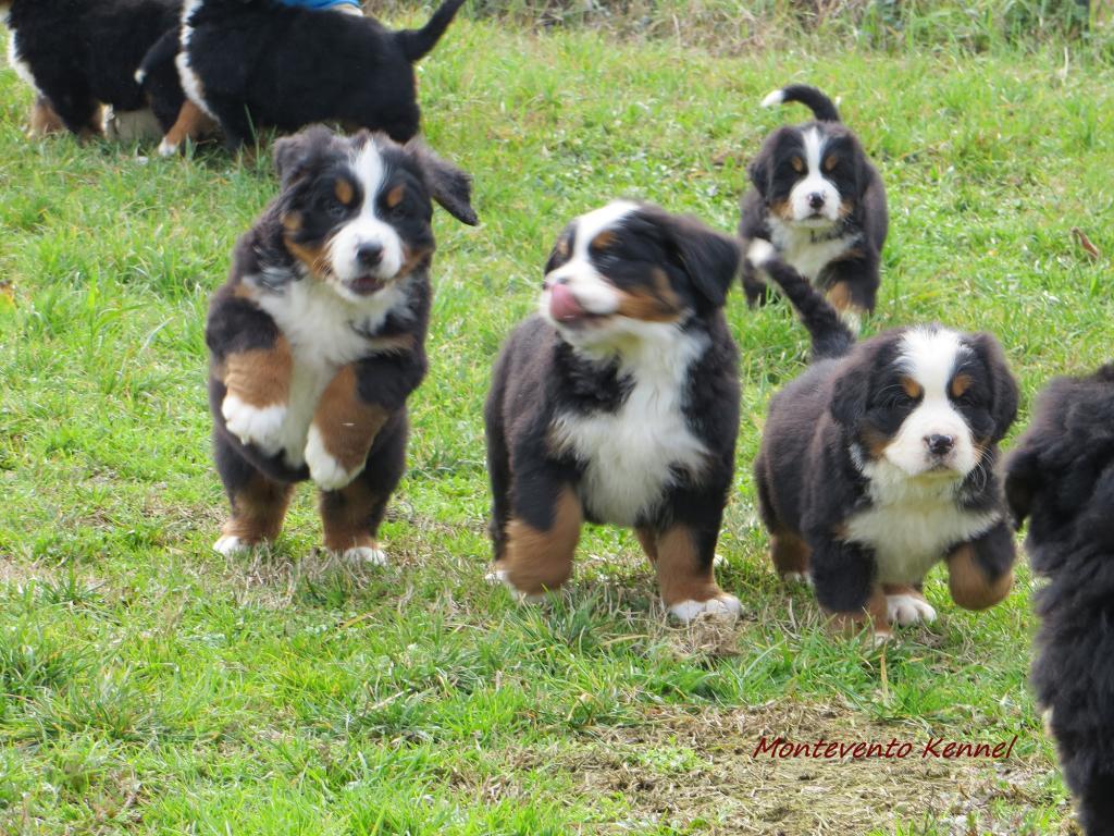 Cuccioli Bovaro del bernese - Allevamento Montevento