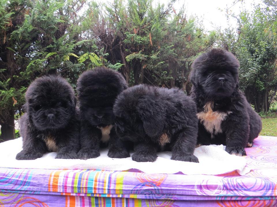 Cuccioli Terranova Neri