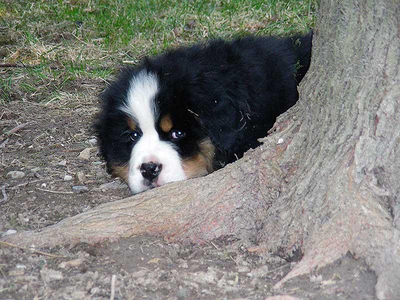 cuccioli bovaro del bernese-montevento