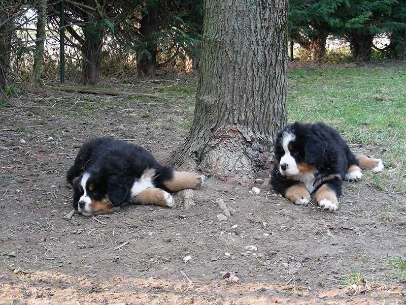 cuccioli montevento bovaro bernese