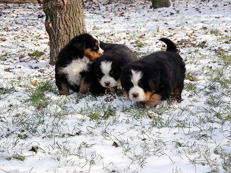 cuccioli pastore del bernese