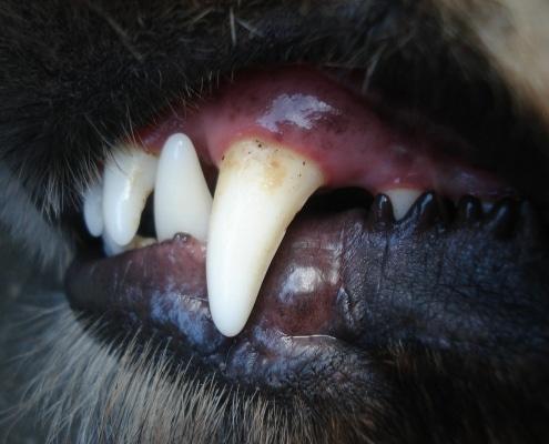 Igiene orale nel cane: consigli e cure per il cucciolo