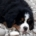 Bovaro del bernese: qual'è il peso ideale da cucciolo e da adulto?